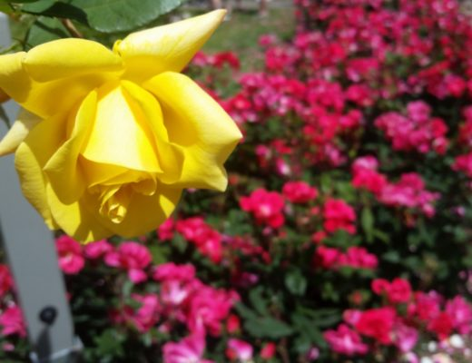 A photo from the Portland Rose Garden